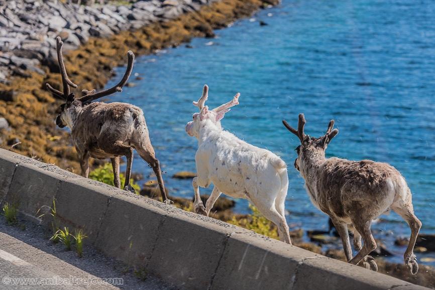 Reindeers running along the highway in Finnmark, Norway.